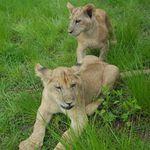 The Born Free Foundation - Lion Cub Rescue